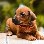 pup_like_naila (1)